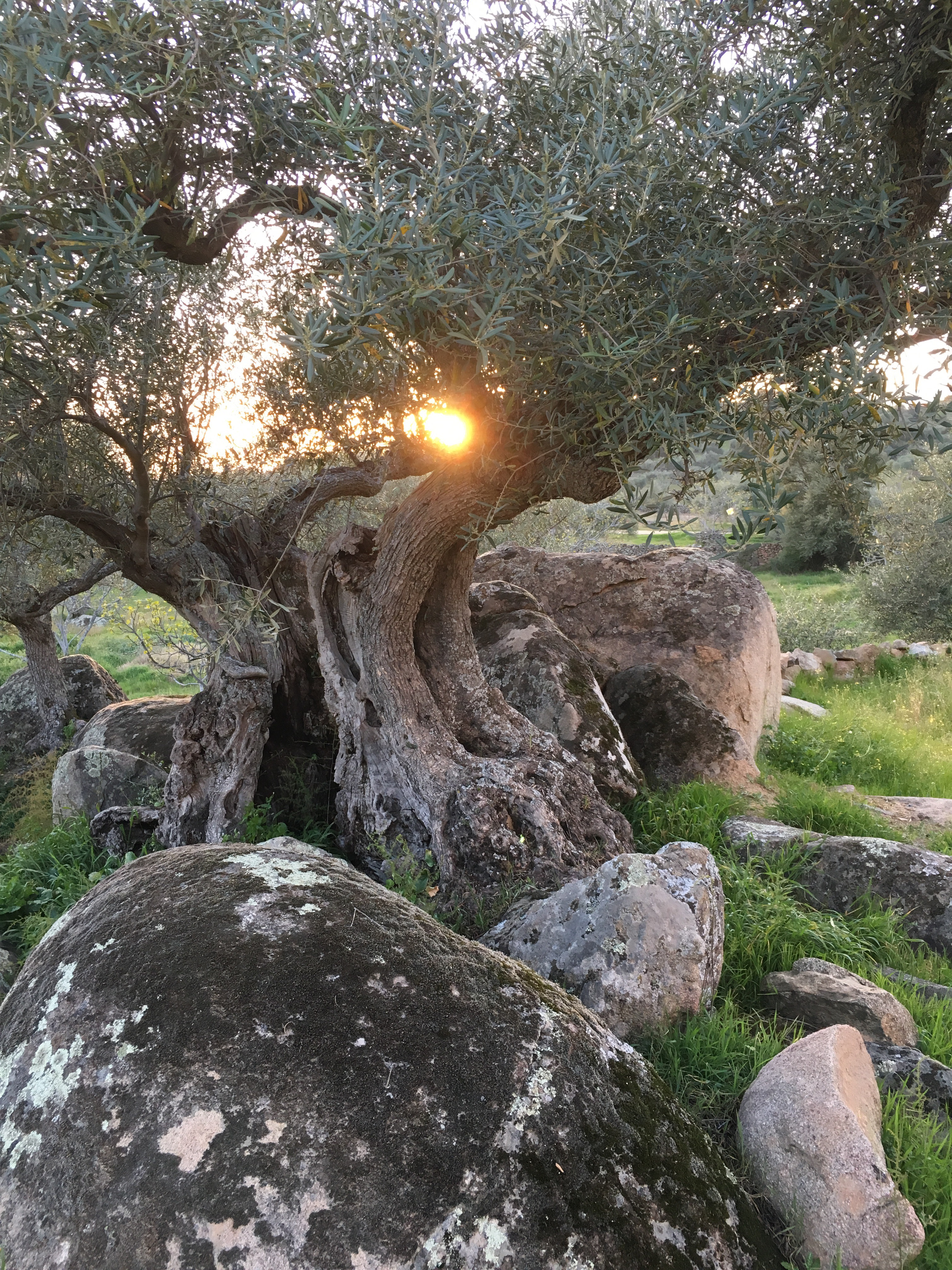 A Summer of Olives?